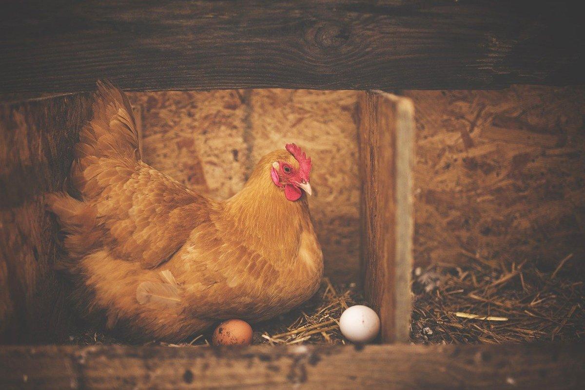 видове яйца според начина на отглеждане на кокошките