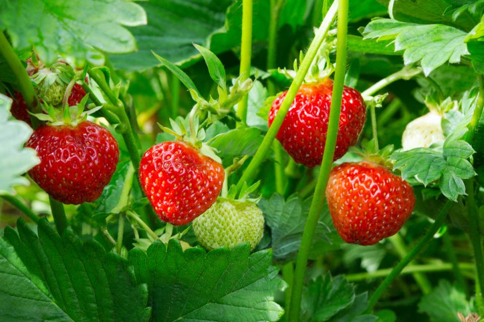 как да съхраняваме и готвим с ягоди