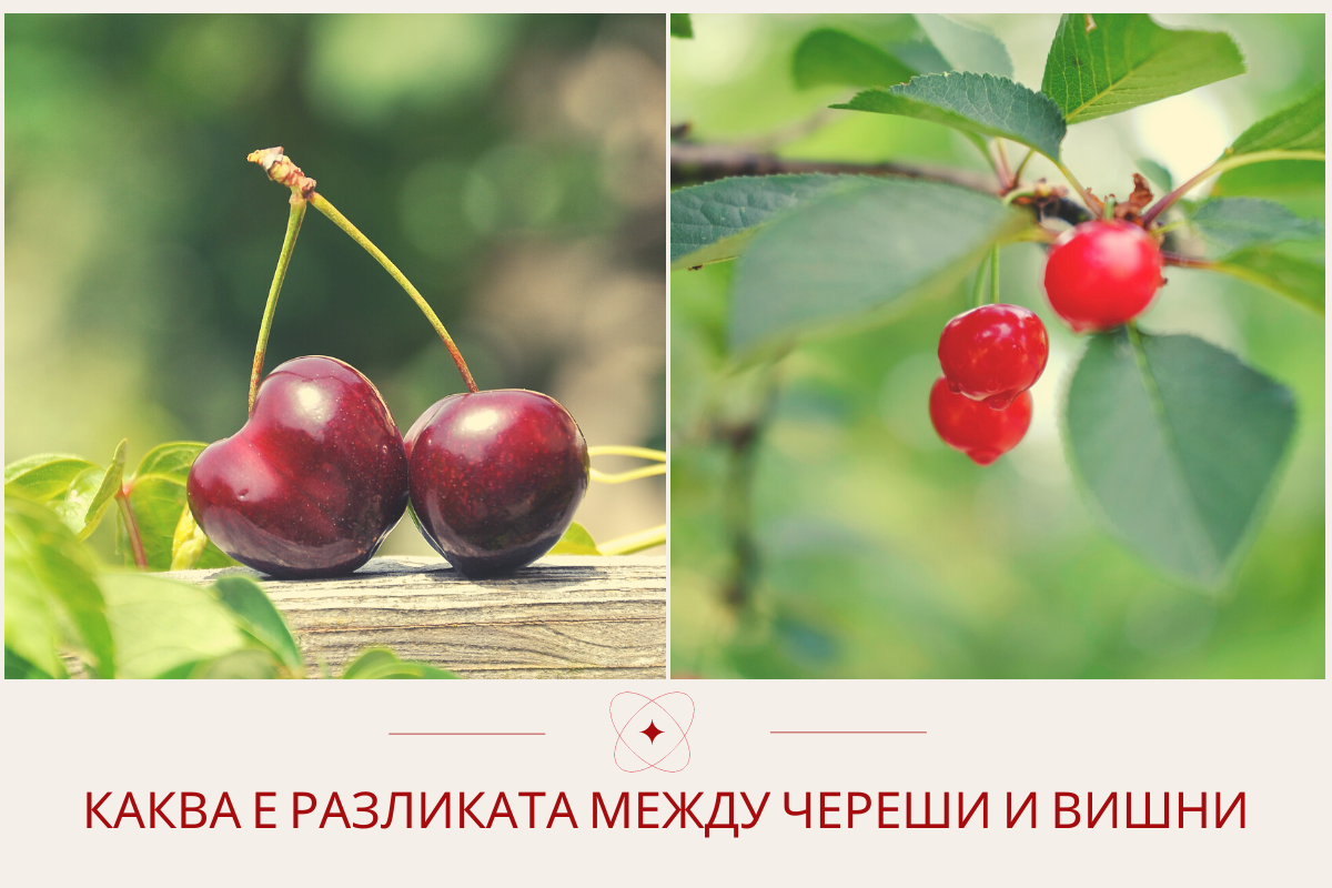 Каква е разликата между череши и вишни
